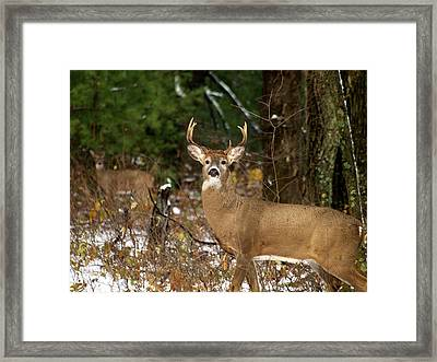 The Rutting Whitetail Buck Framed Print by Thomas Young