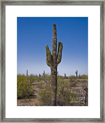 The Saguaro Cactus Ready To Bloom Framed Print by Kirt Tisdale