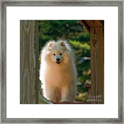 The Samoyed Smile Framed Print by Lois Bryan