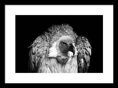 Vulture Framed Prints