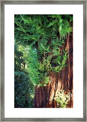 The Scent Of Cedar Framed Print