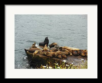 The Sea Lion And His Harem Framed Prints