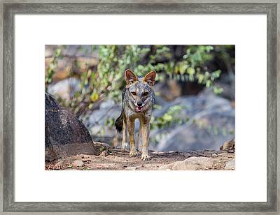 The Sechuran Fox Is Found In Equatorial Framed Print by Mallorie Ostrowitz