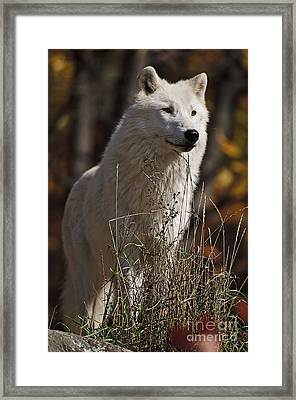 Framed Print featuring the photograph The Sentinel by Wolves Only