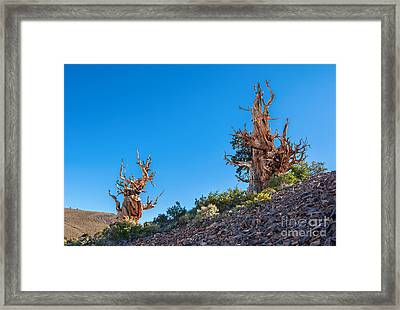 The Sentinels - Ancient Bristlecone Pine Forest. Framed Print by Jamie Pham