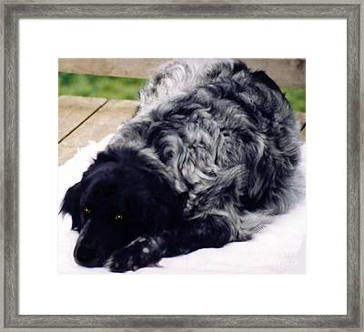 The Shaggy Dog Named Shaddy Framed Print
