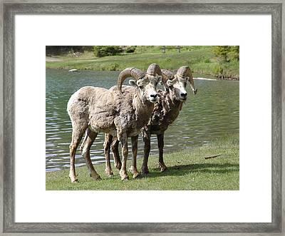 The Shaggy Twins Framed Print by Janet Ashworth