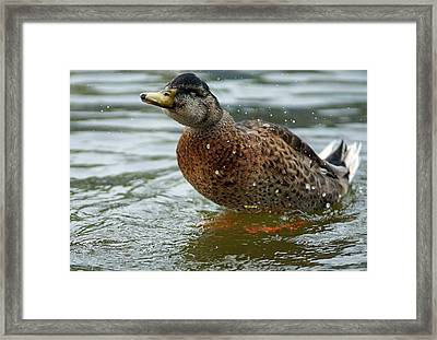 The Shaking Duck Framed Print by Thomas Fouch