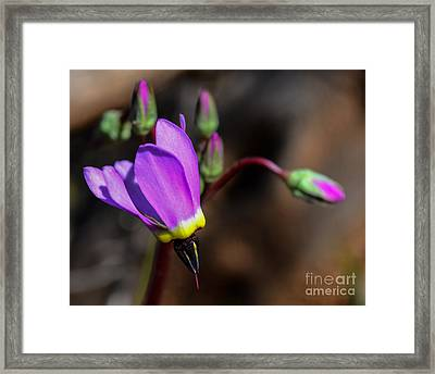 The Shooting Star Wildflower Framed Print