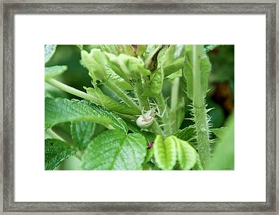 The Shy Goldenrod Crab Spider In The Beach Roses Framed Print