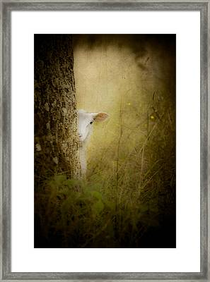 The Shy Lamb Framed Print