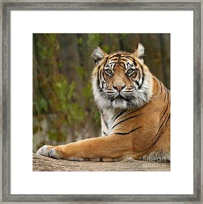 The Siberian Tiger Animal Framed Print by Boon Mee