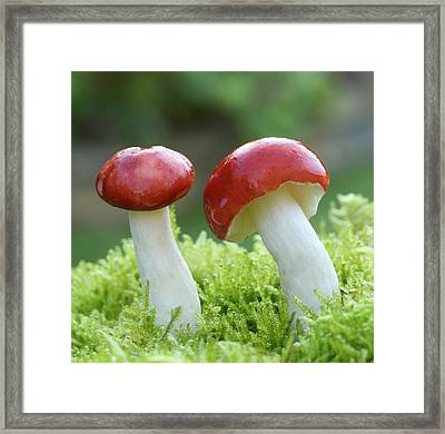 The Sickener Fungus Framed Print by Nigel Downer