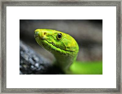 The Smiling Mamba Framed Print by JC Findley
