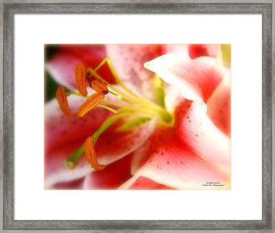The Soft Glow Of A Lily Framed Print by Alexandra  Rampolla