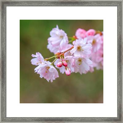 The Softness Of Spring Framed Print