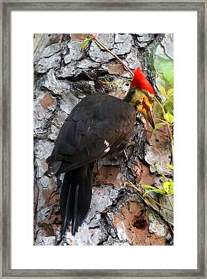 The Southeastern Pileated Woodpecker Framed Print by Kim Pate