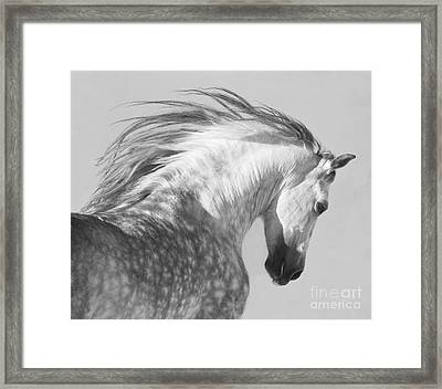 The Spanish Stallion Tosses His Head Framed Print