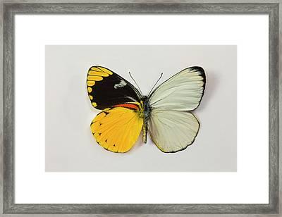 The Splendid Butterfly, Delias Framed Print by Darrell Gulin