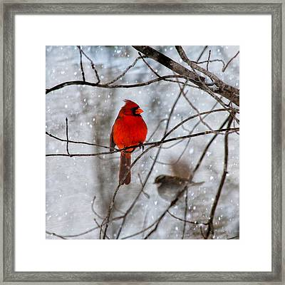 Blue Eyes In The Snow Cardinal  Framed Print