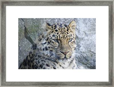 The Stare Of A Leopard Framed Print