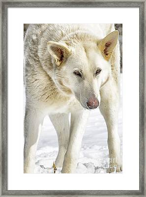 The Stare Framed Print by Thomas R Fletcher