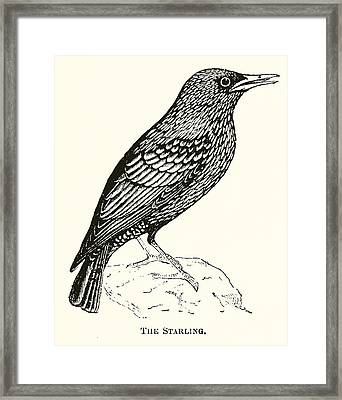 The Starling Framed Print by English School