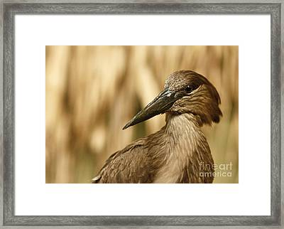 The Strange African Hammerkop Pelican  Framed Print by Inspired Nature Photography Fine Art Photography
