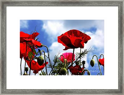 The Summer Poppy Framed Print by Baggieoldboy