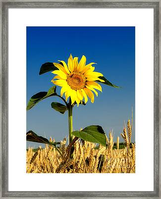 The Sunflower In Wheat Framed Print by Boon Mee