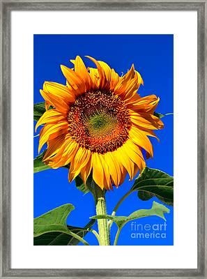 The Sunflower Framed Print by Robert Bales