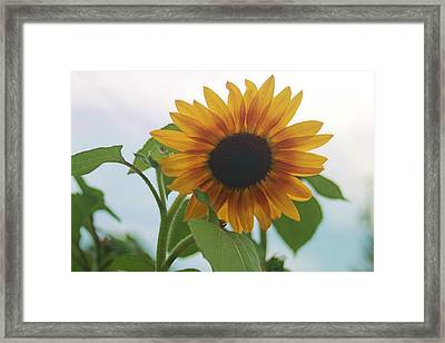 The Sunflower Framed Print by Victoria Sheldon