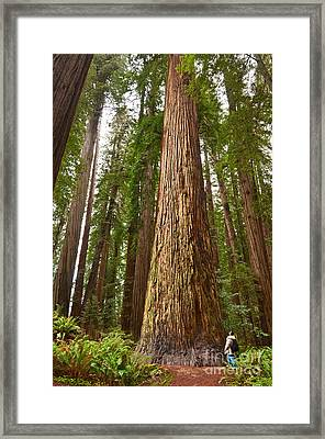 The Survivor - Massive Redwoods Sequoia Sempervirens In Redwoods National Park Named Stout Tree. Framed Print