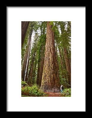 Redwoods Framed Prints