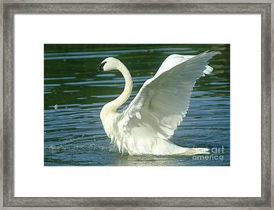 The Swan Rises  Framed Print by Jeff Swan