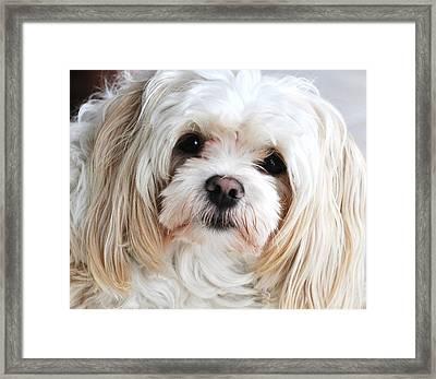 The Sweetest Maltese Framed Print