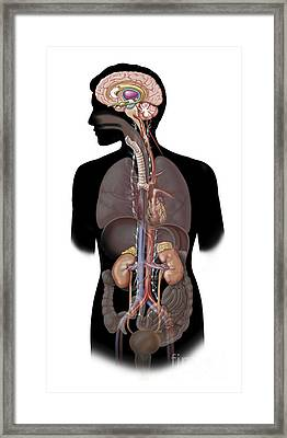 The Sympathetic Nervous System Framed Print by TriFocal Communications