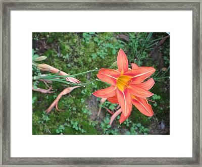 The Tawny Daylily Framed Print by Sonali Gangane