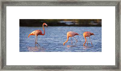 The Three Flamingos Framed Print