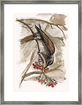 The Thrush Eating Cranberries Framed Print by Angel  Tarantella