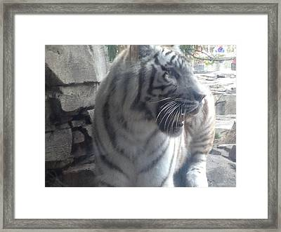 Framed Print featuring the photograph The Tiger Outside The Window  by Alan Lakin