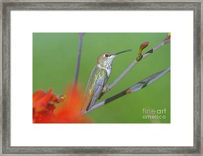 The Tongue Of A Humming Bird  Framed Print by Jeff Swan
