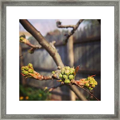 The Trees Are Budding Framed Print