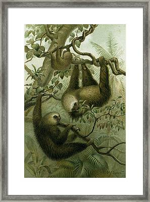The Two-toed Sloth Framed Print by English School