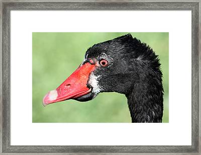 The Ugly Duckling Framed Print by Shane Bechler