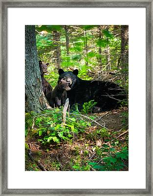 The Ultimate Single Mother Black Bear Sow And Cubs Framed Print