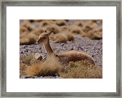 The Vicuna Is One Of Two Wild South Framed Print