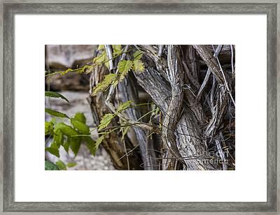 The Vines Framed Print by Amber Kresge