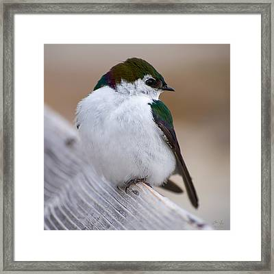 The Violet Green Swallow Framed Print by Aaron Spong