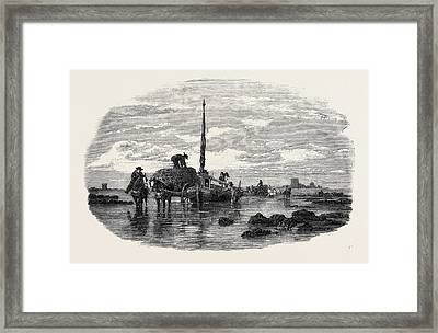 The Vraic Or Seaweed Harvest Guernsey Carting The Vraic Framed Print